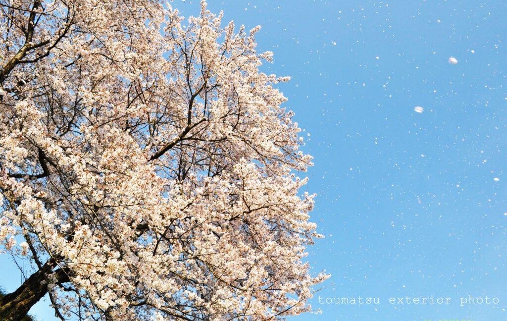 ichinomiya-sakura